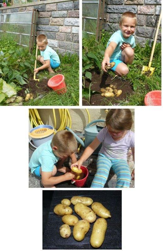 Jardin p dagogique r colte des pommes de terre - Recolte des pommes de terre ...